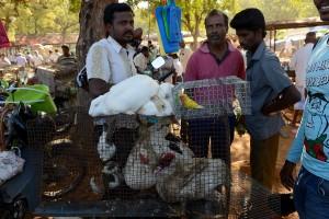 Kaniner duvor 2