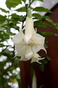 Trumpetblomma, jättelika buskar överfulla med blommor