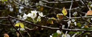 Blommande päron
