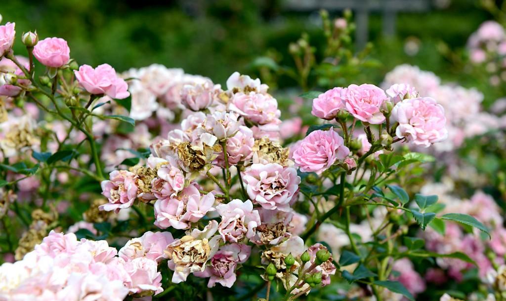 Fairy - rosen som kommuner älskar, men rosen jag älskar att hata