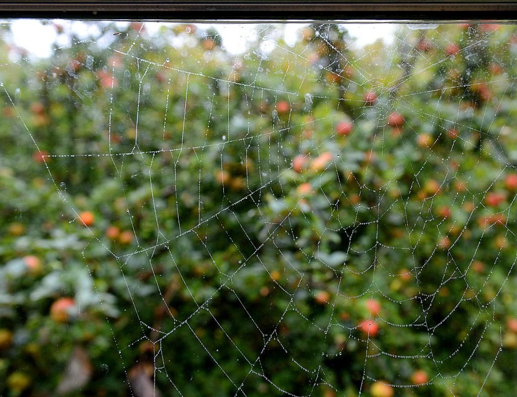 spindelväv i motljus och äpplen i bakgrunden