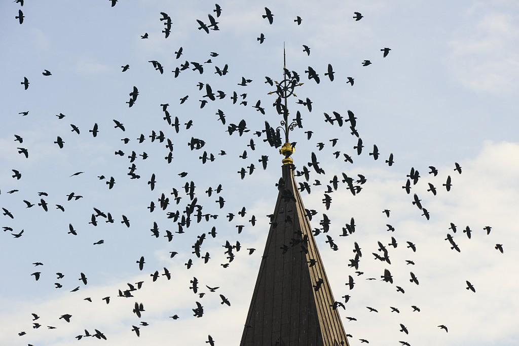Svartfågel vid Vadensjö kyrka