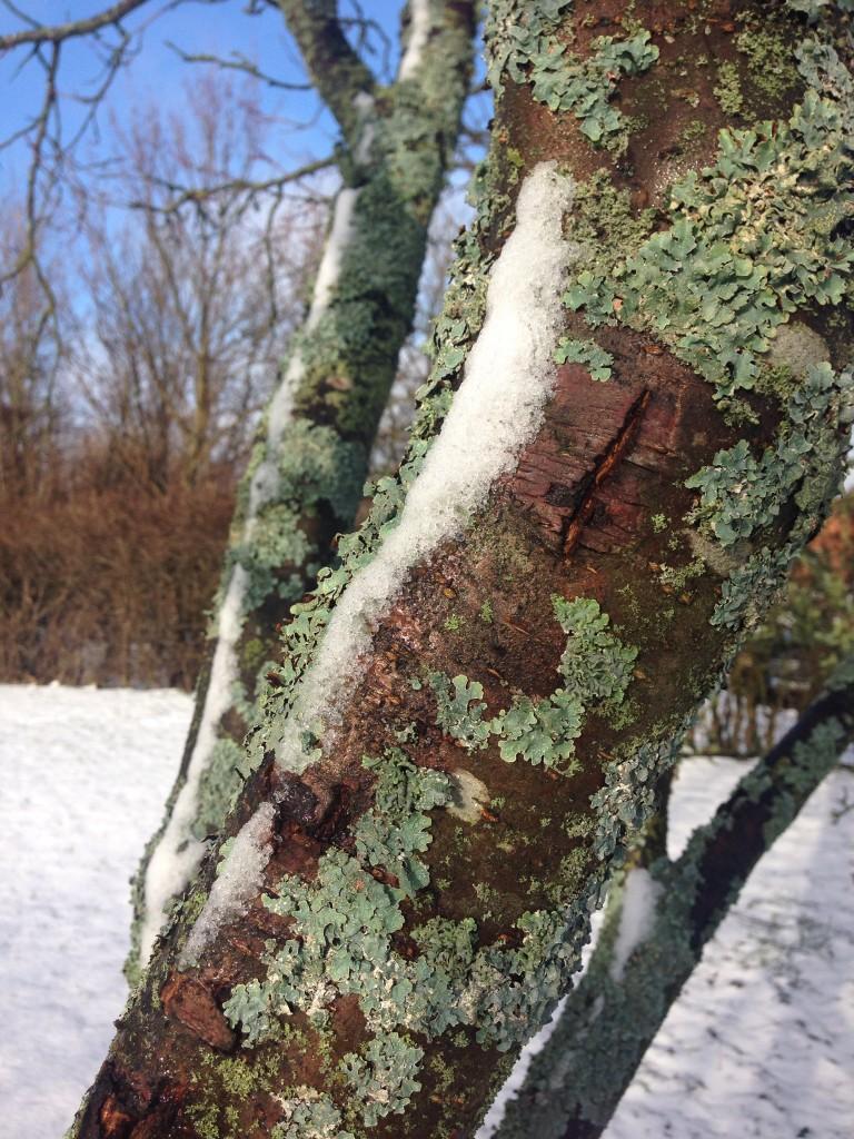 Lit snö kvar på stammen på plommonträdet