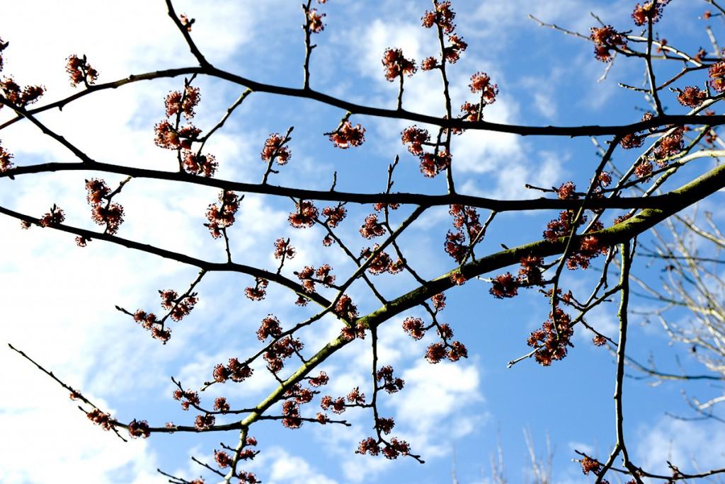 blommande alm