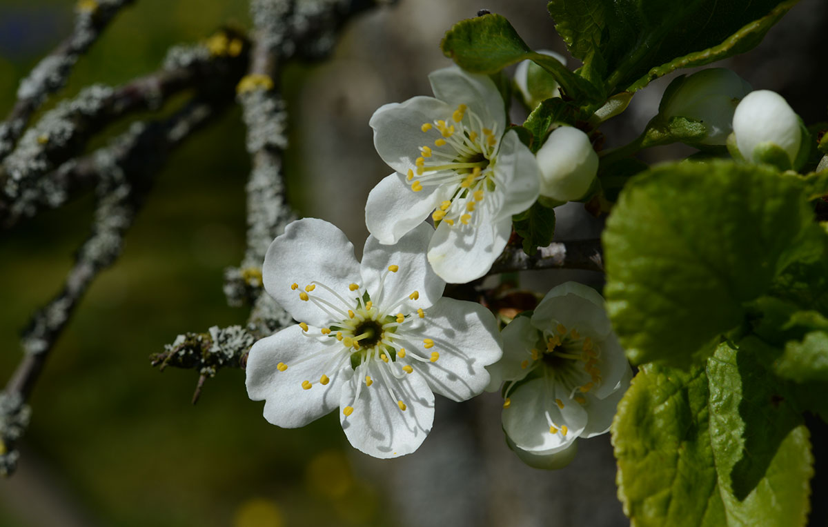 cherryflow